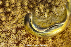 The eye of a Magician- Cutlefish with its changing colours by Peet J Van Eeden 